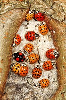 Halequin Ladybirds (Harmonia axyridis) gathering in autumn on tree stem before hibernation