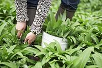 Picking ramsons wild garlic