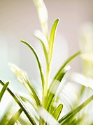 Rosemary close_up