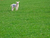 Marked lamb standing in field of grass