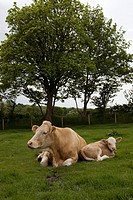 Pedigree Charolais cattle, Wales