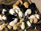 Overview of Guinea pigs, Ollantaytambo, Urubamba province, Cusco region, Peru