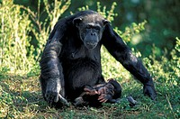 Chimpanzee,Pan troglodytes troglodytes,Africa,adult female with young