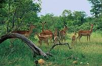 Impala,Aepyceros melampus,Krueger Nationalpark,South Africa,Africa,family