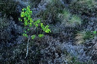 Nature, close_up, scenery, moor, marshy landscape, birch, moor birch, green, color, contrast, solitaire, tree, young, new, tree, sheet green, sheets, ...