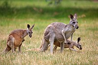 Eastern Grey Kangaroo,Macropus giganteus,Australia,adult female with young