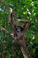White Handed Gibbon,Hylobates lar,Asia,adult on tree