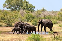 African Elephant,Loxodonta africana,Kruger Nationalpark,South Africa,Africa,group drinking at waterhole