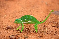 Flap necked Chameleon,Chamaeleo dilepis,Kruger Nationalpark,South Africa,Africa,adult crossing road
