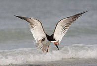 Black skimmer Rynchops Niger flying above water