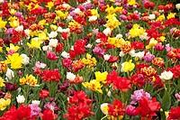 Flowers in a botanical garden, Giardini Botanici Villa Taranto, Lake Maggiore, Pallanza, Province of Verbano_Cusio_Ossola, Piedmont, Italy