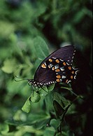 Spicebush Swallowtail butterfly Papilio troilus perching on a leaf