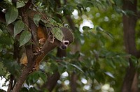 Squirrel monkey Saimiri sciureus on a tree, Devil´s Island, French Guiana