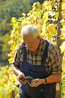 Winegrower, winemaker during the harvest, quality inspection, Trollinger, Stuttgart, Baden-Wuerttemberg, Germany, Europe