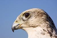 Falcon, Saker Falcon (Falco hybrid), portrait, Wildpark Daun Wildlife Park, Vulkan Eifel, Rhineland-Palatinate, Germany, Europe