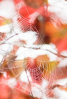 spider web in red leaves
