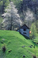 Stone house with a Swiss flag in the tributary valley of Val Lavizzara, spring, blossoming trees, Valle Maggia, Maggia Valley, Ticino, Switzerland, Eu...