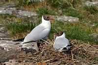 Pair of Black-headed Gulls (Larus ridibundus) at the breeding site in the breeding colony at Eidersperrwerk, Dithmarschen district, Schleswig-Holstein...
