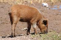 Piglet, Llachon community, Capachica peninsula, Peru, South America, Latin America
