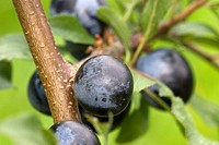 Prunus spinosa, Blackthorn, with berries (Sloes), Wales