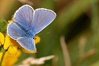 Common Blue butterfly, Polyommatus icarus, Wales