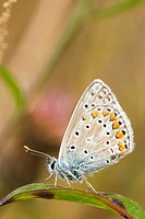 Common Blue butterfly Polyommatus icarus, Wales.