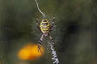 Female wasp spider Argiope bruennichi in spiderweb