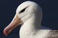 Black-browed Albatross or Black-browed Mollymawk (Diomedea melanophris), Falkland Islands, South America