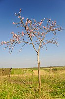 Young flowering Peach tree (Prunus persica), Weinviertel, wine quarter, Lower Austria, Austria, Europe