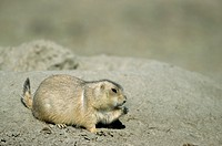 Black_tailed Prairie Dog, Cynomys ludovicianus