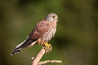 Common Kestrel (Falco tinnunculus), young male on a branch, Vulkan Eifel, Rhineland-Palatinate, Germany, Europe