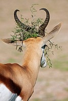 Springbok Antidorcas marsupialis with a piece of branch in its head, Kgalagadi Transfrontier Park, South Africa and Botswana