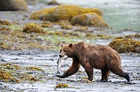 Grizzli bear fishing salmon Ursus arctos middendorffi Kodiak Island, Alaska, USA