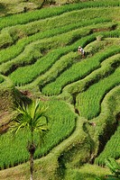Paddy fields near Tegal Lalang, Bali, Republic of Indonesia, Southeast Asia