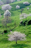wild cherry, sweet cherry, gean, mazzard Prunus avium, cultural landscape with blooming cherry trees, Italy, Venetia, Monti Lessini, May 04.