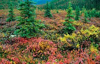 autumn mood in tundra, autumn, fall mood in tundra, Indian Summer, USA, Alaska, Denali National Park, Aug 03.