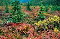 autumn mood in tundra, autumn, fall mood in tundra, Indian Summer, USA, Alaska, Denali National Park, Aug 03.