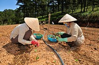 Planting salad, two women planting seedlings, field work, Dalat, Central Highlands, Vietnam, Asia