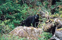 American black bear Ursus americanus, Mother with cub standing on rock in forest, green vegetation, Canada, British Columbia