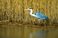 grey heron Ardea cinerea, searching food in front of reed, Netherlands, island Texel