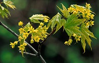 Norway maple Acer platanoides, blossoms