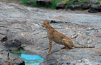 cheetah Acinonyx jubatus, at waterhole, securing, Tanzania, Serengeti