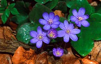 hepatica liverleaf, American liverwort Hepatica nobilis, with dewdrops, Germany
