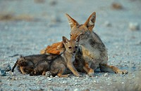 black_backed jackal Canis mesomelas, sucking whelps, Namibia