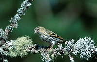 spruce siskin Carduelis spinus, female, sitting on a twig, United Kingdom, Scotland