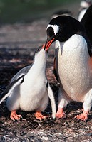 gentoo penguin Pygoscelis papua.