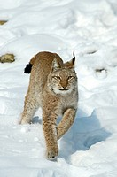 Eurasian lynx Lynx lynx, jumping through snow.