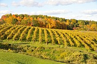 Fall Colors Winery Vineyards Finger Lakes Region New York