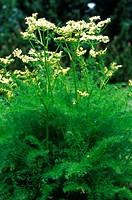 spignel Meum athamanticum, blooming