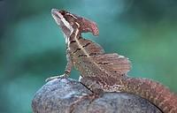 common basilisk Basiliscus basiliscus, Costa Rica